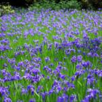 大田神社境内東にある花の群落は?京都・観光文化検定三級過去問!