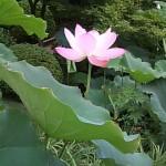 法金鋼院の庭園に咲く夏の花は?京都検定三級過去問!