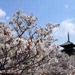 御室桜で有名な寺院は?京都・観光文化検定(京都検定)三級過去問!