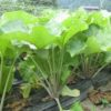 京野菜のひとつで、聚楽第の破却後、その堀で作られたのは?京都検定三級過去問